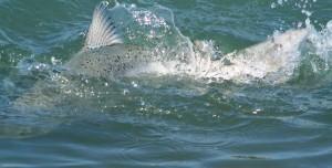 salmon on Okarito lagoon 2 cm