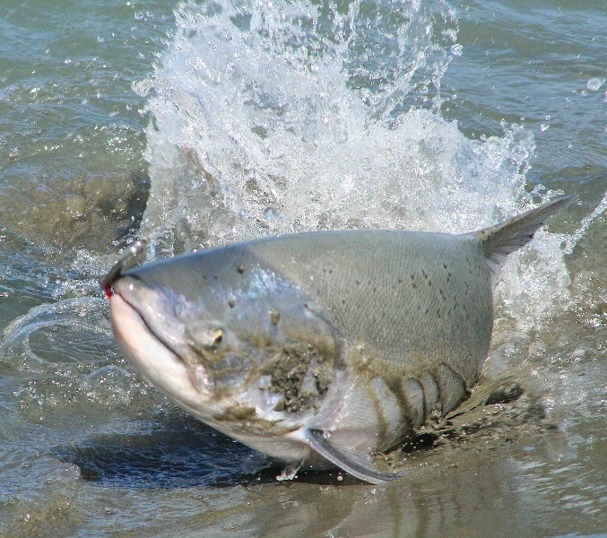 Angling photos canterbury river fishing with ben haywood for New zealand fishing
